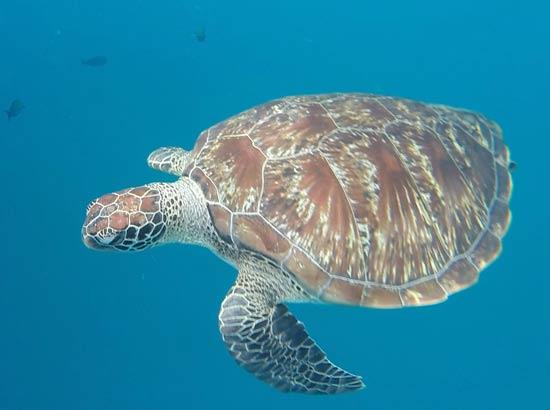 gumbo limbo sea turtle